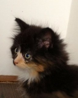 Quality Maine Coon Kitten