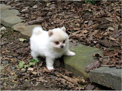 كلب صغير طويل الشعر كلب صغير طويل الشعر قدح الشاي الصغير الجراء