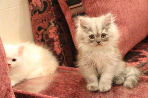 للبيع 3 قطط شيرازيه