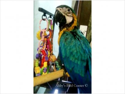 11Baby Blue & Gold Macaw