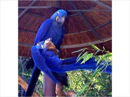 Hyacinth Macaw22