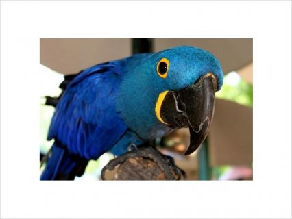 Hyacinth Macaw Breeding Adults11