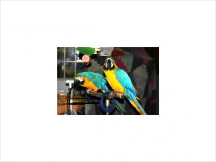 Female and Male macaw11