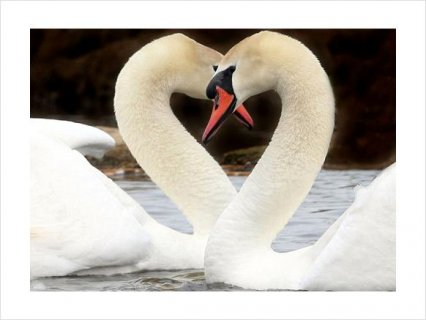 Beautiful PAIR WHITE MUTE BREEDER SWANS FOR SALE