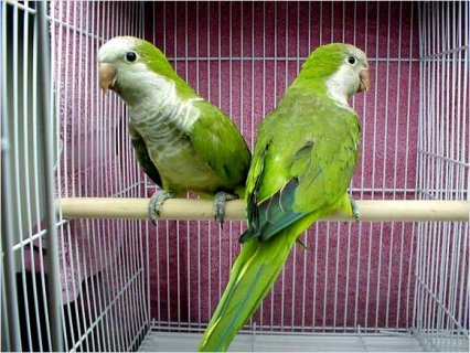 Quaker (Monk) Parrot (Parakeet)