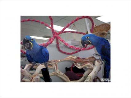 Hyacinth Macaw for adoption1
