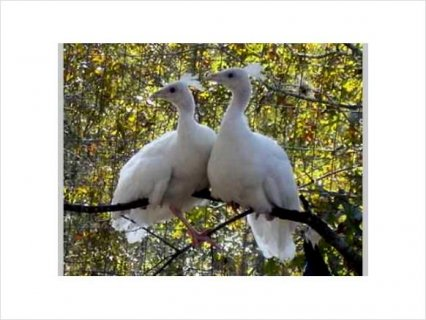 White BABY PEACOCKS (PEACHICKS) FOR SALE- WILL SHIP