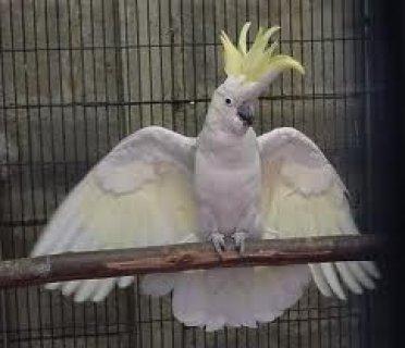 cockatoo parrots birds6