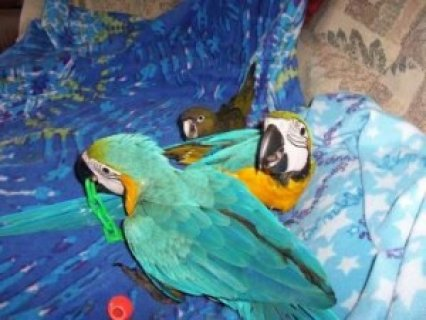 Talking Blue and Gold Macaw Parrots5
