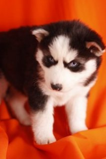 Two Beautiful Siberian Husky Puppies