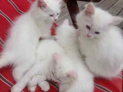 Cute and adorable male an female persian kittens ready to join n
