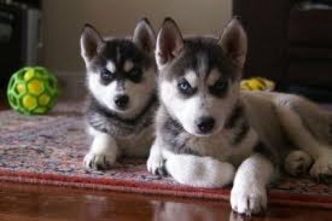 Siberian Huskies for Adoption