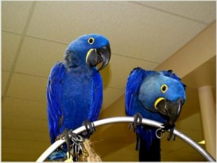 صور Hyacinth Macaw Parrots for Adoption 1