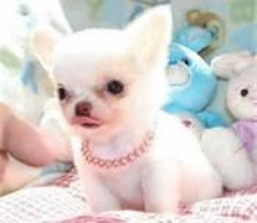 صور very lovey,charming and adorable Chihuahua Puppy for adoption.   1