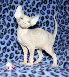 صور Absolutely Beautiful Female TICA Sphynx Kitten 1