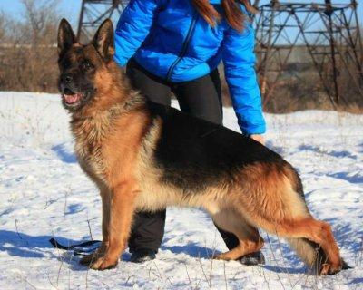 جراوي جيرمن شيبرد للبيع German shepherd