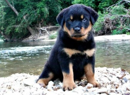 Rottweiler Puppies for Adoption