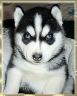 Beautiful Siberin Husky Puppies for You