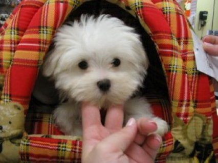 Miniature Teacup Maltese Puppies