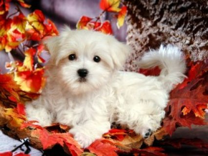 Male and Female Maltese Puppies Available