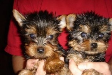 Sweet Female Yorkie Puppies