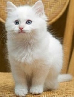 Sparkling Silver Teacup Persian Cat For Sale
