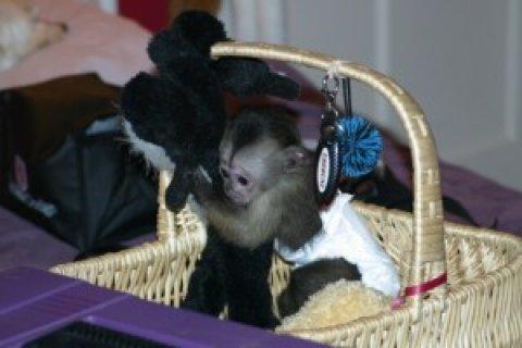 Home-raised Capuchin Monkeys