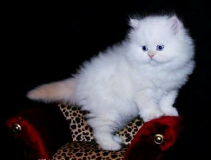 Teacup male and female Persian Kittens For Sale.