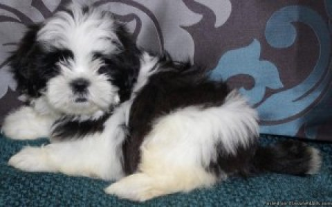 "ADORABLE Teeny Tiny ""MaltiTzu\"" Designer Breed CKC Pups"