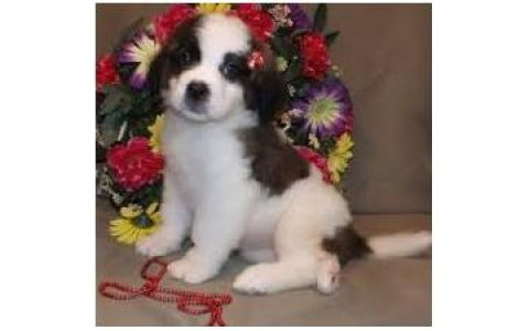 Beautiful Male and female Saint Bernard Puppies for good rehomin