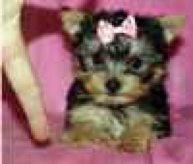 Gorgeous Male and Female Tiny Teacup Yorkie Puppies For Rehoming