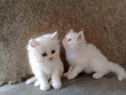 صور Cute Tiny Teacup Persian Kittens out for adoption 1