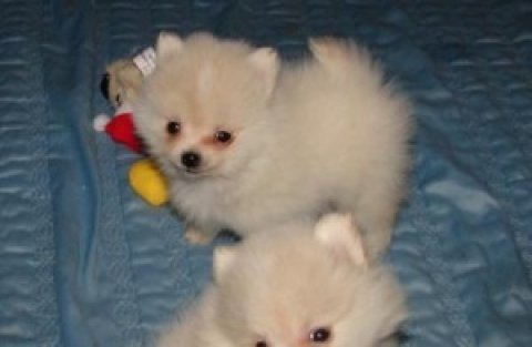 Three Teacup Pomeranian Puppies
