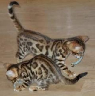 صور $2 Charming Savannah F1 kittens Rehoming 3