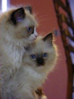 Ragdoll Kitten for sale
