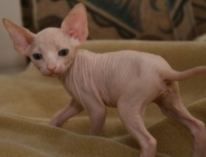Adorable Hairless Sphynx available