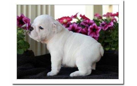Cute English Bulldog Puppies