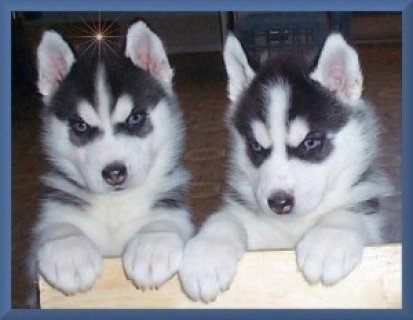 Marvelous Siberian Husky Puppies