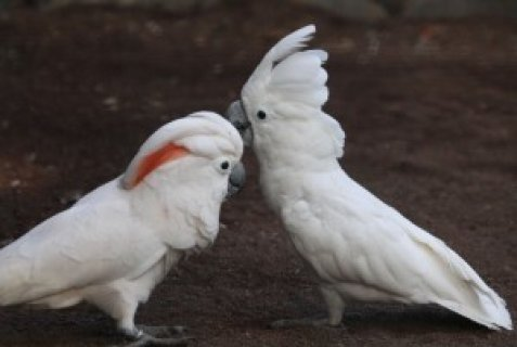 Beautiful Cockatoo Parrots for adoption