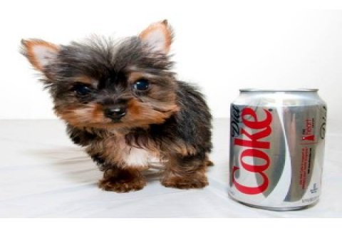 Yorkie puppies available for adoption