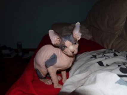 Male and Femle Sphynx Kittens