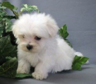 Two Maltese Puppies Available