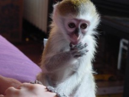 i have one female capuchin monkey ready to go to a loving and ca
