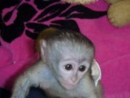 Cute and lovely Baby Capuchin Monkeys For Adoption  Cute and lov