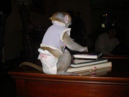 A Gorgeous Capuchin Monkey For Adoption  Hello,with me is a lovi