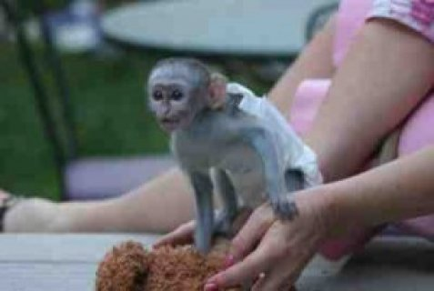 handsome good looking male baby capuchin monkey for re-homing an