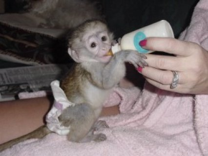Baby Capuchin Monkey For Adoption  Hello, we got some lovely bab
