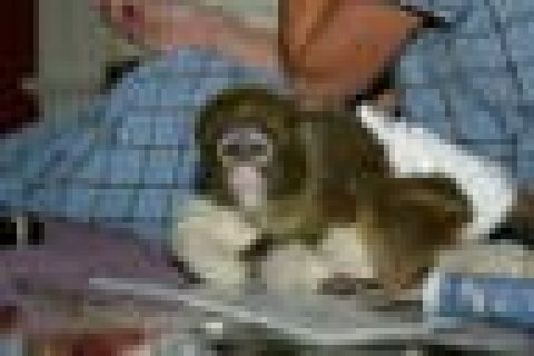 Cute Bottle feed Twins Baby Capuchin Monkey for Sale  Intelligen