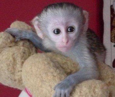 top quality capuchin monkeys for adoption.