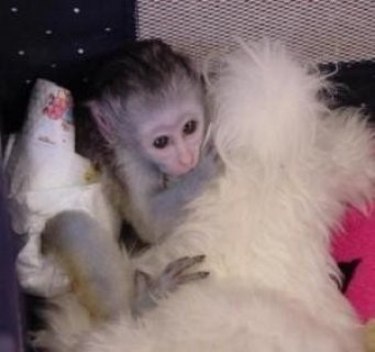 Available Capuchin Monkey For A Good Home